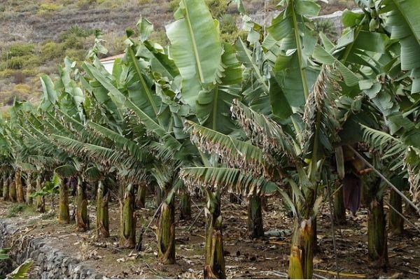 Simpatia Para Crescer Cabelo Bananeira